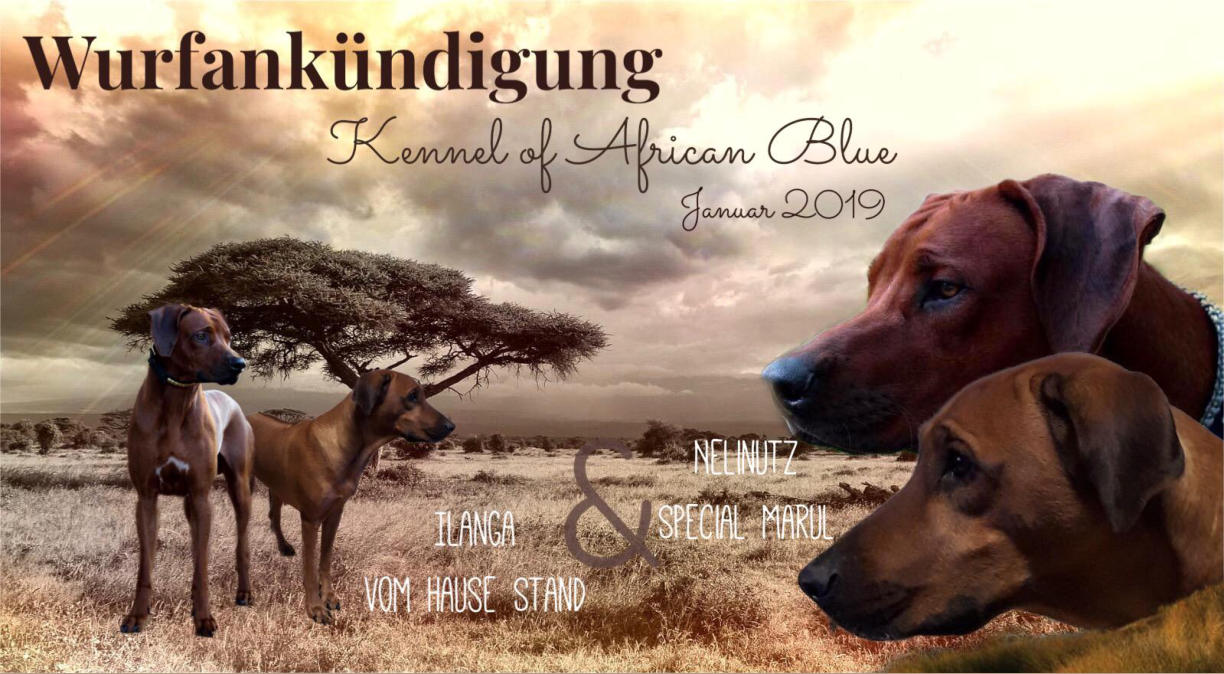 """A-Wurf im Kennel """"of African Blue"""" Anfang 2019"""